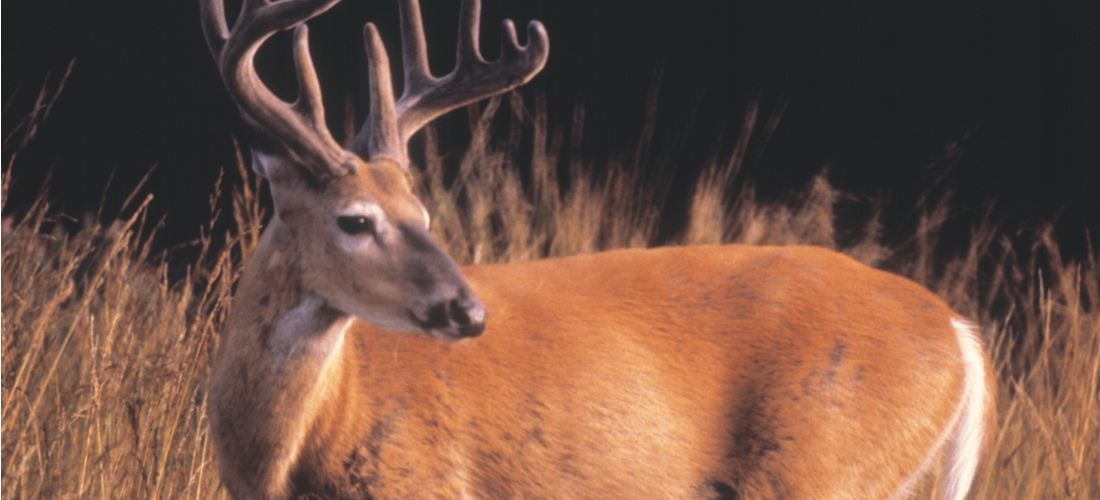 Deer and wildlife abound in Michigan's vast wilderness areas.