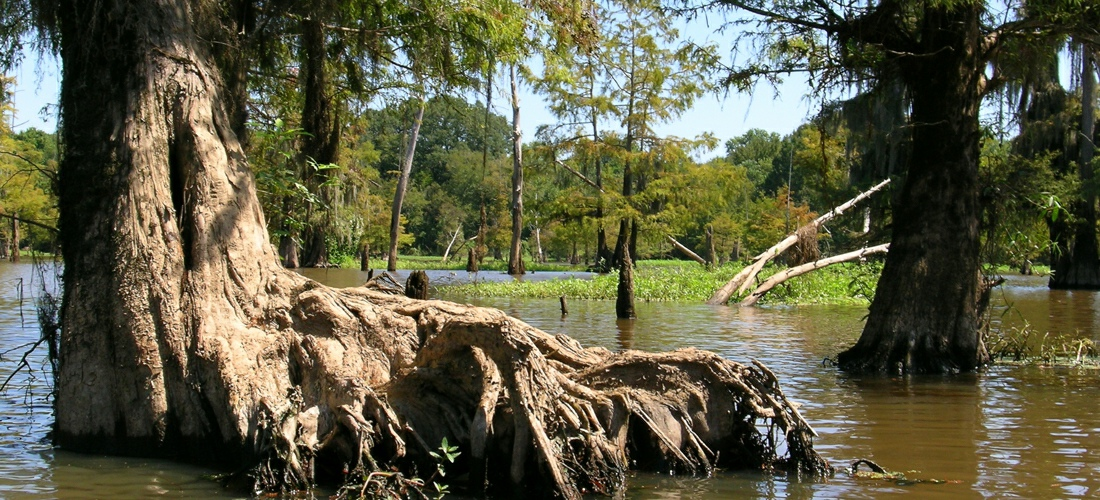 Mississippi wildlife and cypress trees in the swamps.