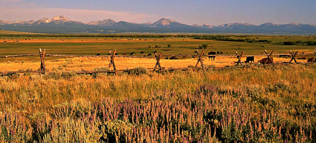 Cattle roaming the open plains in Montana - US Travel Guide.