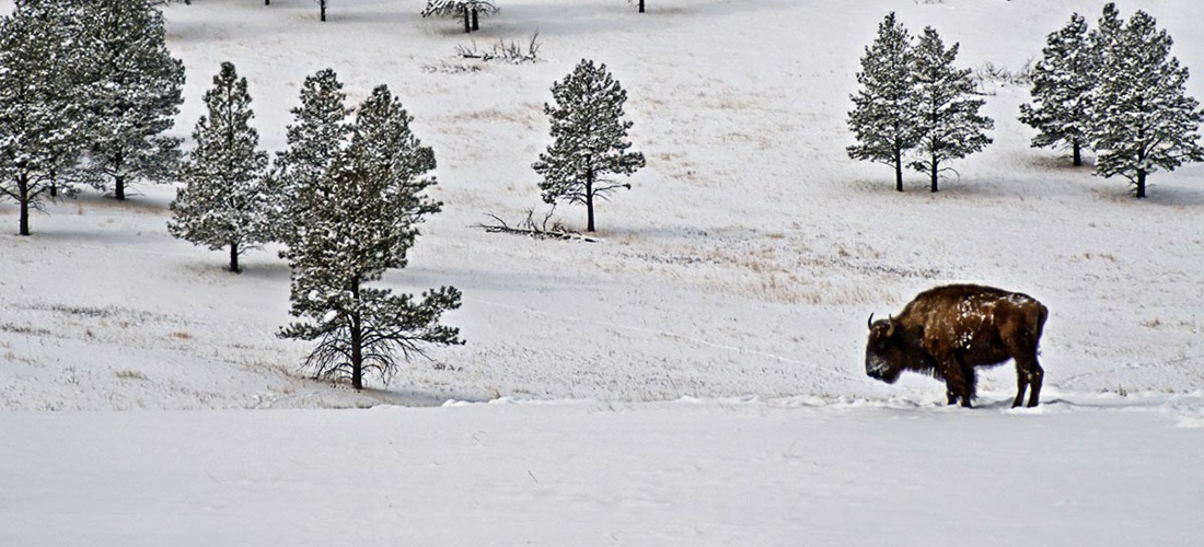 A lone buffalo stands in a winter storm - in the plains of South Dakota.