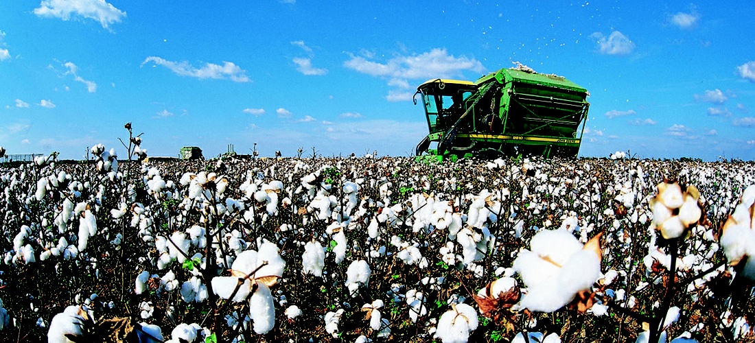 Mississippi cotton harveting.