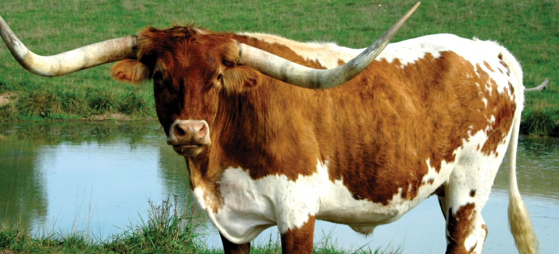 Texas Longhorn steer out to pasture.