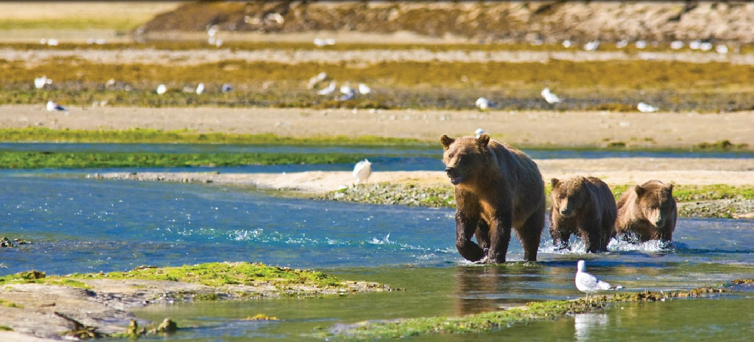 Brown Bears Frolick by the Bay in Alaska - A Travel Guide